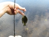 First catch of the day, a small sunfish